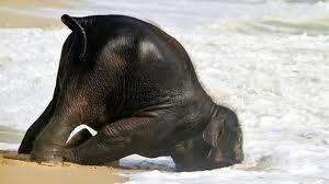 Elephant falling down